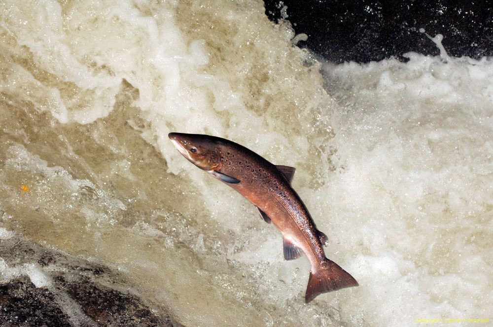 decline in bcs wild salmon industry essay In british columbia, these issues are of serious concern with respect to wild salmon stocks as farms are located on major salmon migration routes this industry is expanding rapidly.