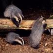badger18b