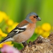 chaffinch7626lcampbell-a