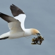 gannet2632-lcampbell-a