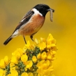 stonechat2671dlcampbell-a