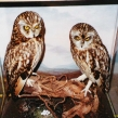 Both these Short-eared owls had been shot (Copy)