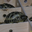 Hermann's Tortoise ~ part of a consignment through Heathrow ARC