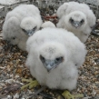 Peregrine Falcon chicks at a secret location in Kent which had been protected by the police from thieves after year on year attacks