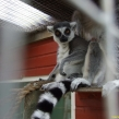 Ring-tailed lemurs be kept without permits (Copy)