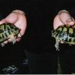 Smuggled Spur-thighed tortoises (Copy)