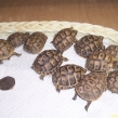 Spur-thighed tortoises being sold illegally.  Probably smuggled from Tunisia (Copy)