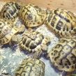Spur-thighed tortoises being sold without permits (Copy)