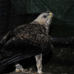 Wahlberg's eagle smuggled into UK from South Africa (Copy)