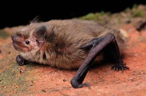 Bat Persecution
