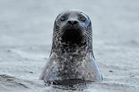 Illegal Seal Shooting