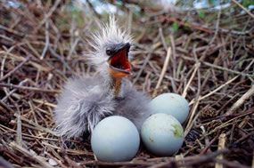 Illegal taking of wild bird eggs