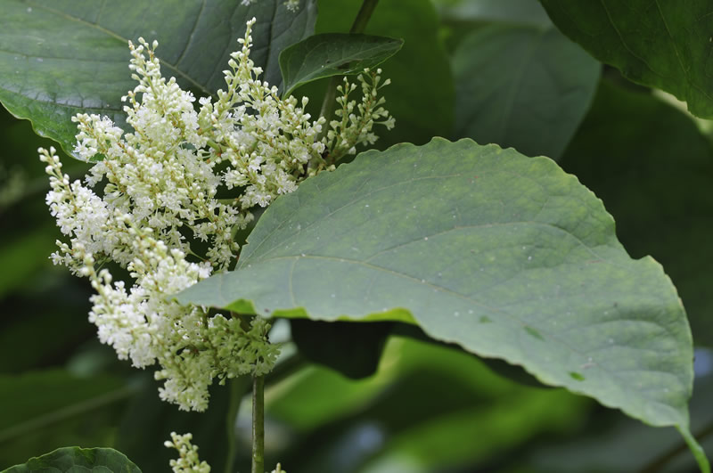 Japanese-knotweed-2