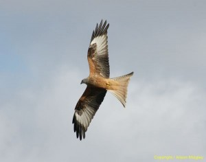 Red kite - in flight - raptor - bird of prey