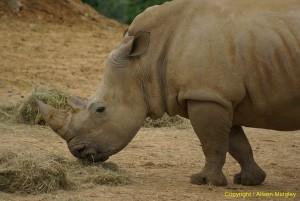 Rhino - side view - standing - rhino horn - TCM