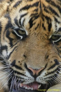 Amur tiger cub - aprox 4 months old - close up of head - big cat