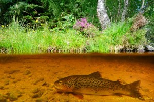 browntrout2d