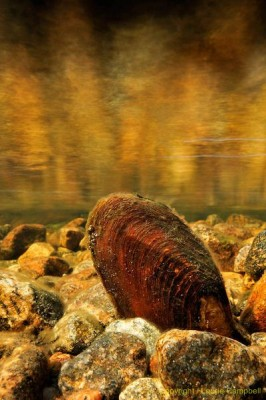 freshwaterpearlmussel9314LCampbell-a