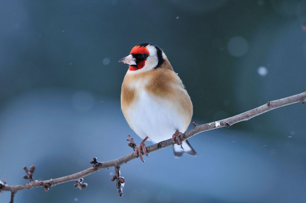goldfinch4940LCampbell