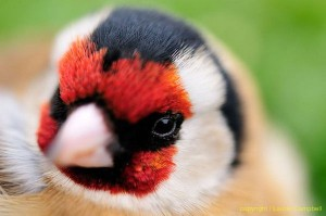 goldfinch7255LCampbell-a