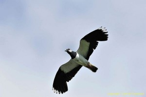lapwing8937LCampbell-a