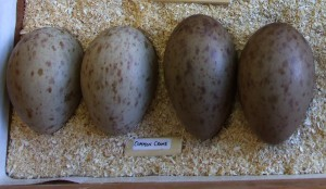 Crane eggs found in Scotland were taken in Sweden 2002-2003