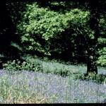 Bluebell wood © NWCU