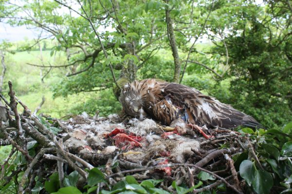 A Red Kite dead on nest. Image courtesy of NIRSG