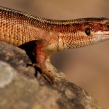 commonlizard4b