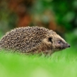 hedgehog17d