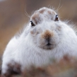 mountainhare1b