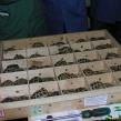 A consignment of Hermann's Tortoises through Heathrow ARC