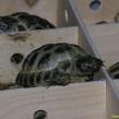 Hermann's Tortoise ~ part of a consignment through Heathrow ARC