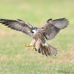 Peregrine from the protected nest in Kent survives!