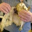 Shot barn owl (Copy)