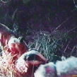 Still image from video of badger bait (Copy)