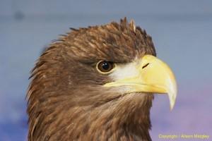 Eagle - close up - raptor - bird of prey