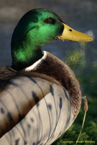 Mallard - close up - side view - bird - water fowl