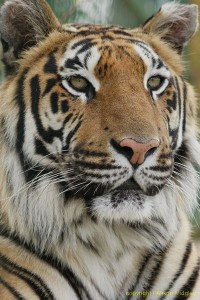 Siberian tiger - close up - big cat