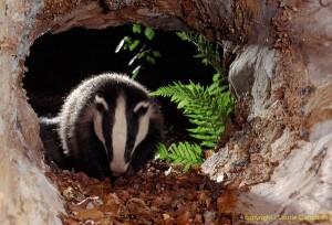badger41b