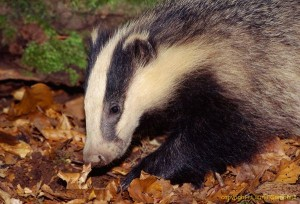 badger66b