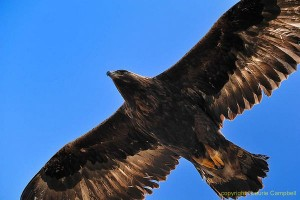 goldeneagle7701LCampbell-a