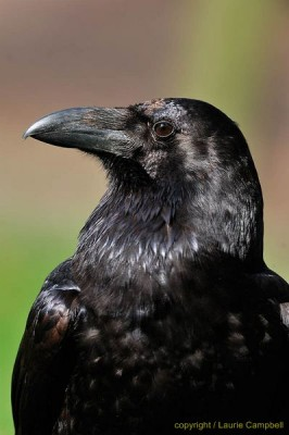 raven6658LCampbell-a