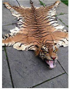 [Image: 'Javan' Tiger skin rug - pic credit Defra / Eric Morton]